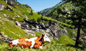 mucca alpe veglia
