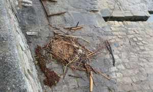 nido cigno