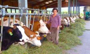 stalla mucche piazza curagius
